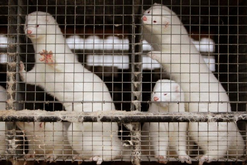 Šokeerivad kaadrid: Eesti ärimehele kuuluvas karusloomafarmis suri mitu tuhat looma