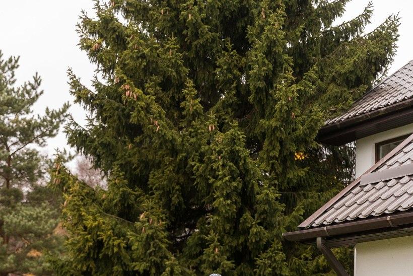 Tallinna esinduslikem jõulupuu jõudis Raekoja platsile