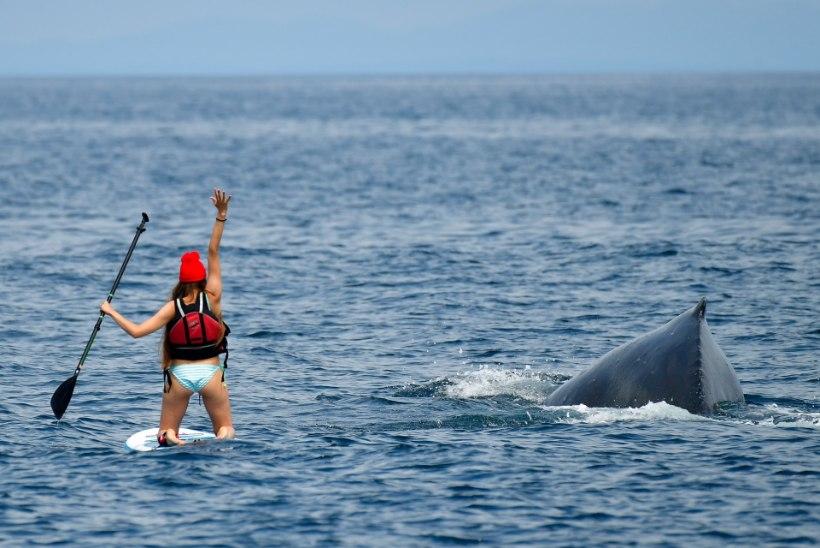 VIDEO | Ühtsuses peitub jõud! Vaata, kuidas rannale ujunud vaal ära päästeti