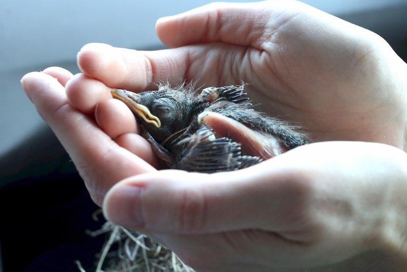 Linnupoegade massihukku ei uurita