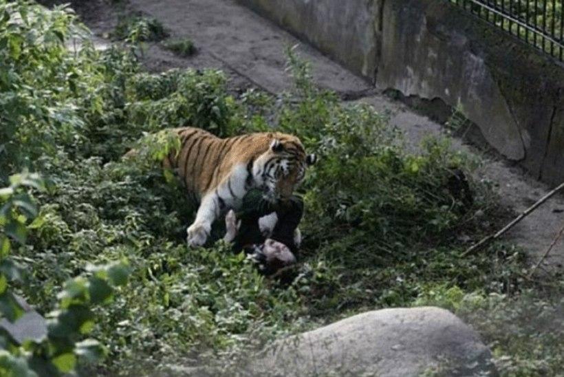 Kaliningradi loomaaias tiigri küüsi sattunud talitaja meenutab rünnakut