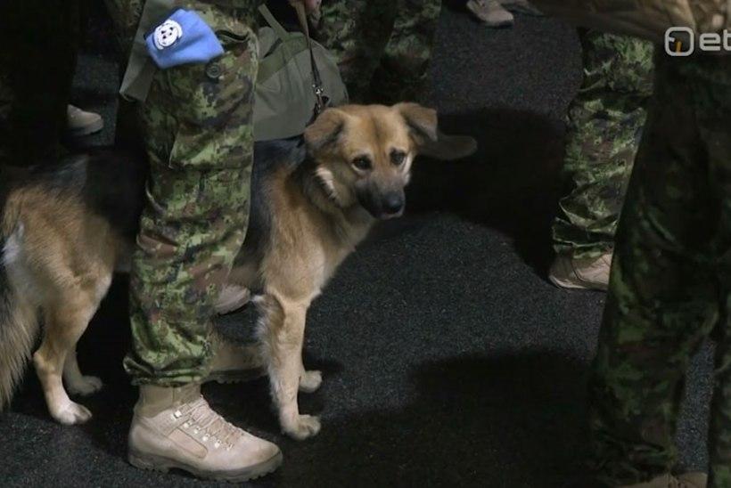 Rahuvalvajatega saabus Liibanonist Eestisse ka siin uue kodu saanud koer