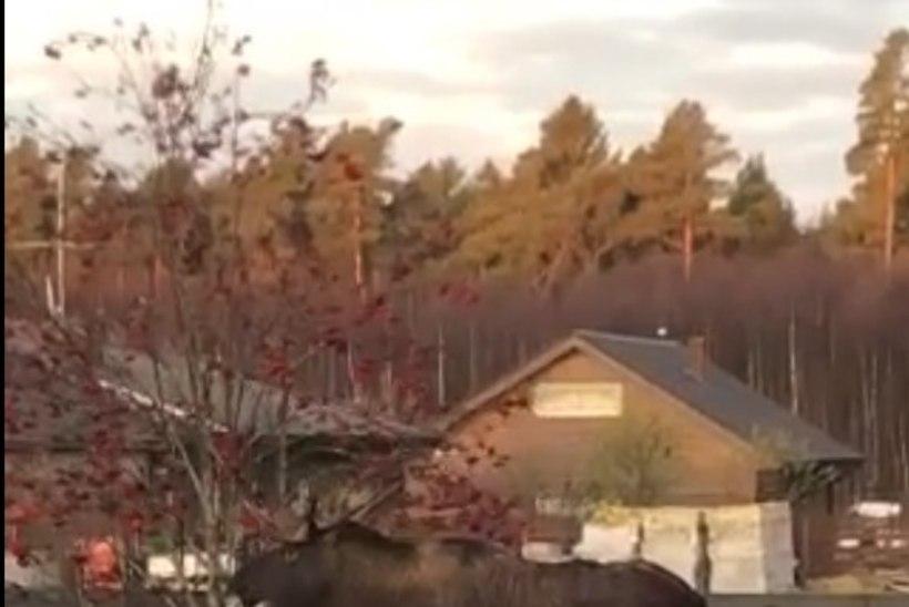 VIDEO | Põder nosib aias  hommikusöögiks pihlakaid