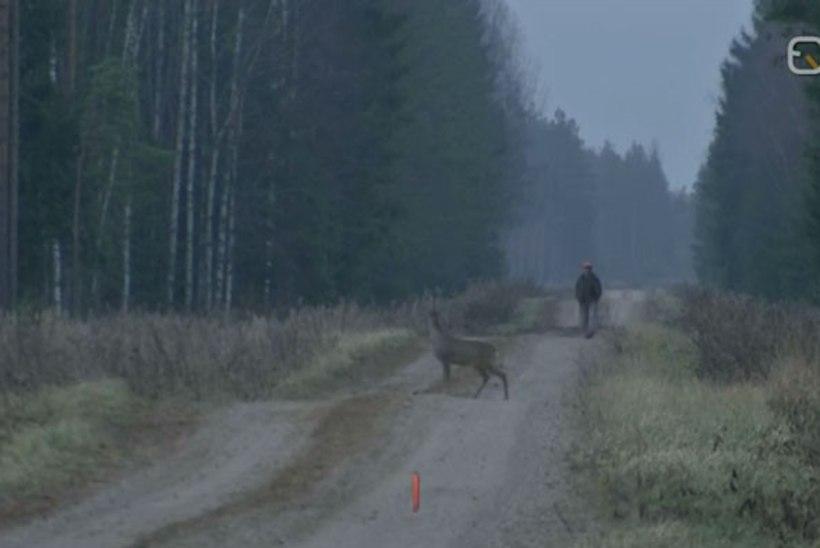 VIDEO | Metskitsede arvukus on taastunud
