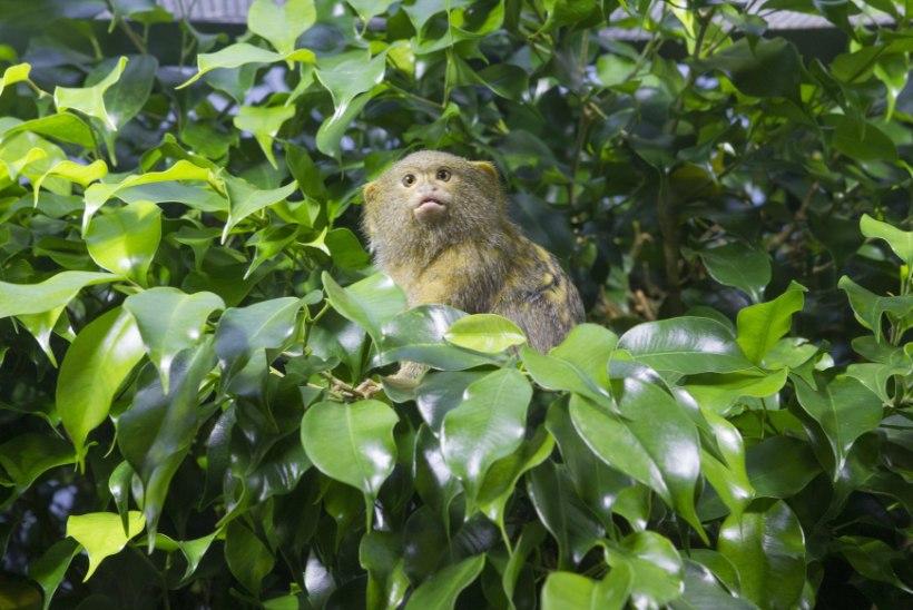 Kuidas kotitäis kuivatatud viigimarju ninasarviku kepsutama paneb