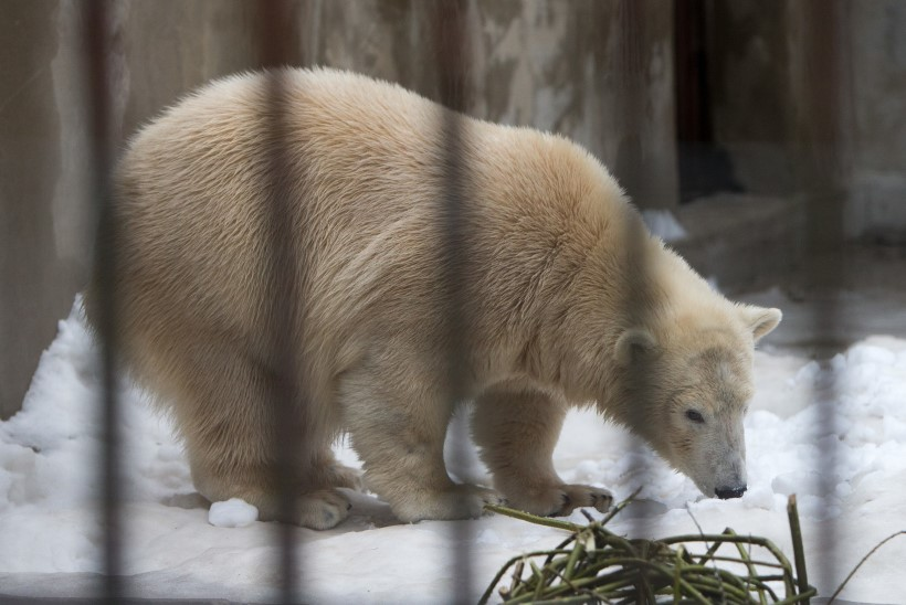 Jääkaru Nora kolib Viini peigmehe juurde