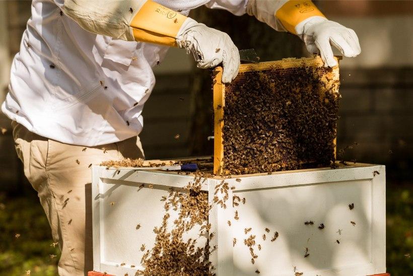 Looduskaitsjad nõuavad mesilasi hävitava mürgi keelustamist