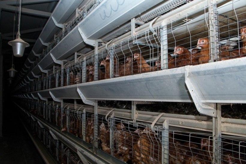 Loomaõiguslaste töövõit: Rimi teatas puurikanade munade müügist loobumisest!