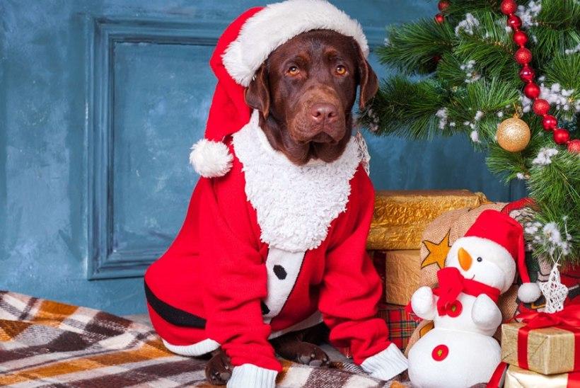 Loomakaitsjad hoiatavad: inimeste jõuluroadkoertele ei sobi!