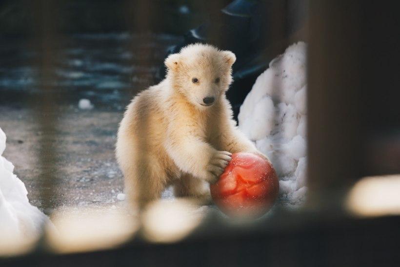 FOTOKROONIKA MÄRTS 2017: palju matuseid ja üks õnnelik jääkarubeebi