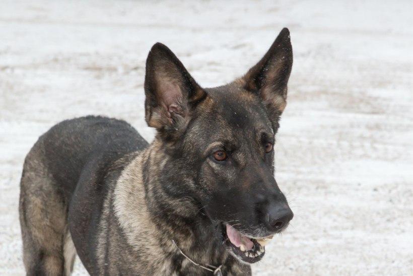 Politsei uurib koera gaasitamist