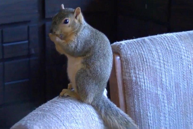 VAPPER ORAV!   Kodustatud orav tegi sissemurdnud vargale tuule alla!