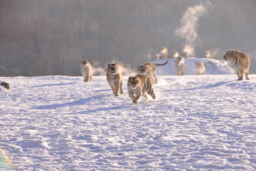 LOODUS ON VÕIMSAM: vaata, kuidas tiigrid drooni maha võtavad