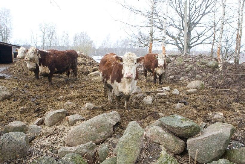 Kiskja ründas poegivat veist, surma said nii vasikas kui lehm