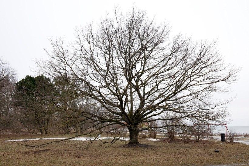 Euroopa aasta puu 2017 kandidaat on Russalka tamm