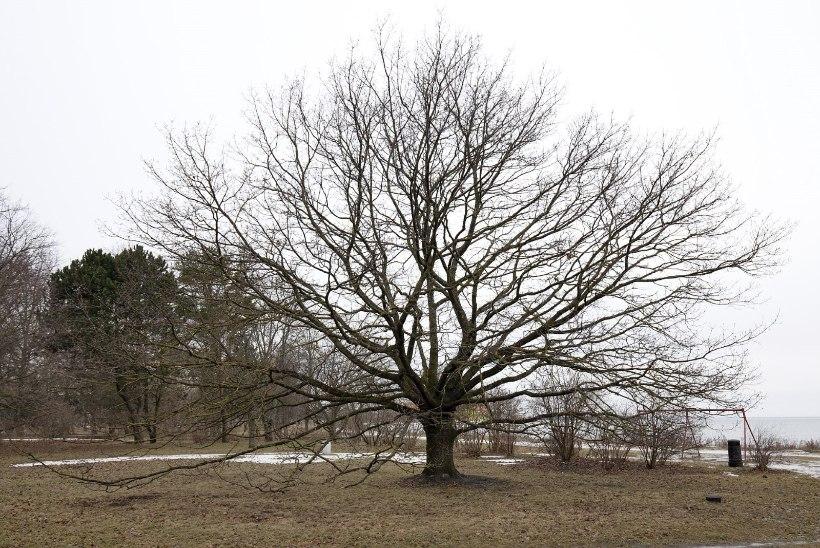 """""""Russalka"""" tamm pürgib Euroopa 2017. aasta puuks"""