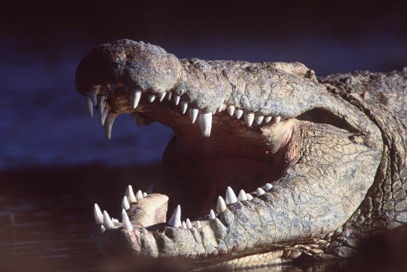 Zimbabwes sõi krokodill ära 8aastase lapse