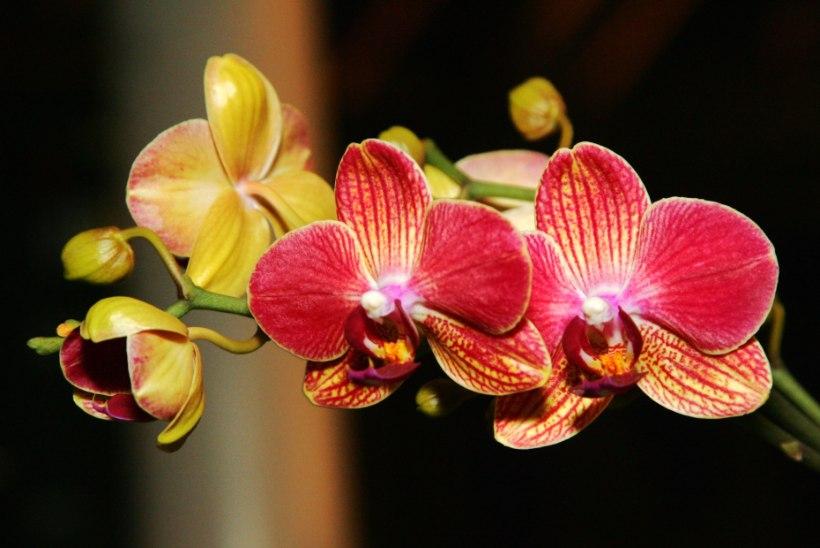 Orhideed lummavad oma iluga