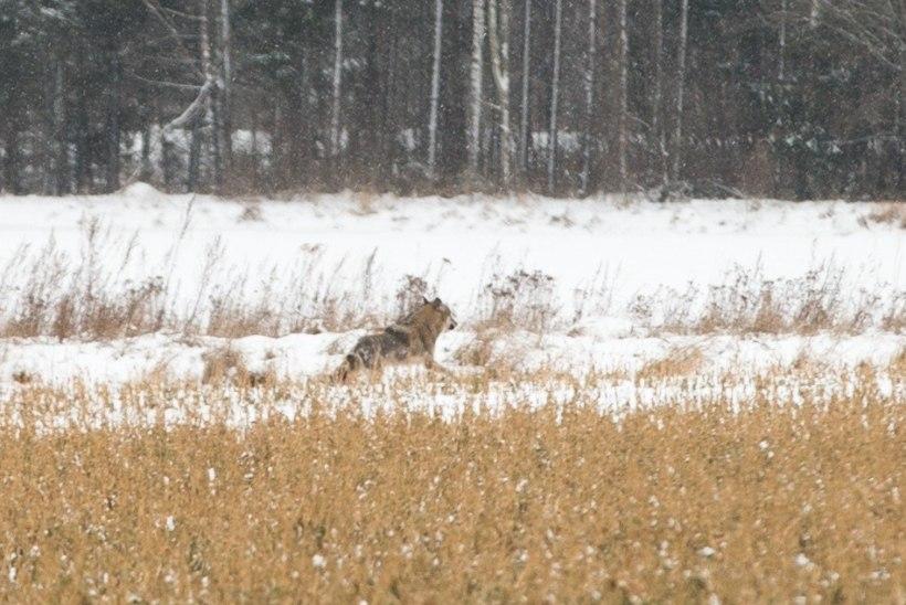 Lõppenud jahihooajal kütiti Eestis 114 hunti