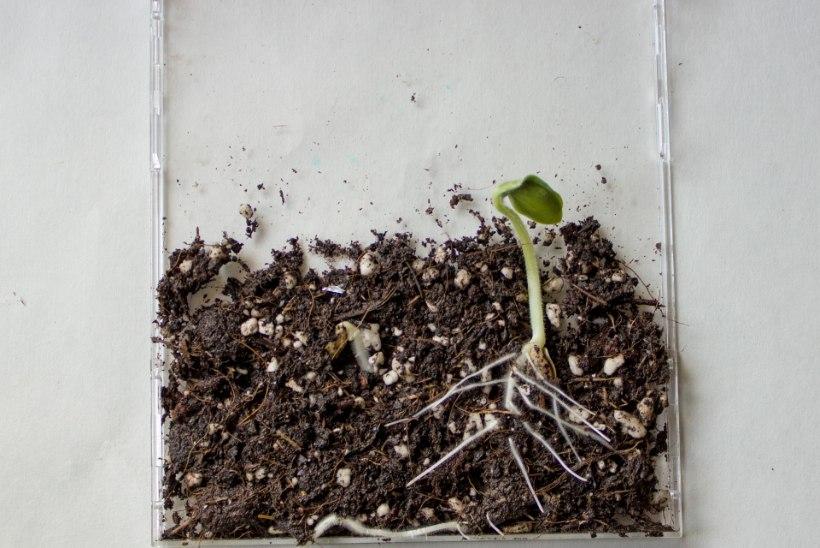 BLOGI | Nii saad jälgida, kuidas seemnest kasvab taim
