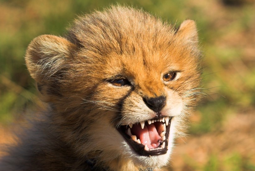 ARMAS VIDEO | Koerakutsikad ja gepardipojad on parimad sõbrad