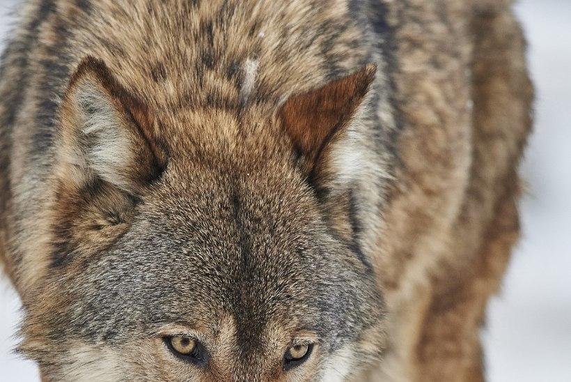 Mitu päeva järjest koera koduõuel rünnanud hundid lasti lõpuks maha