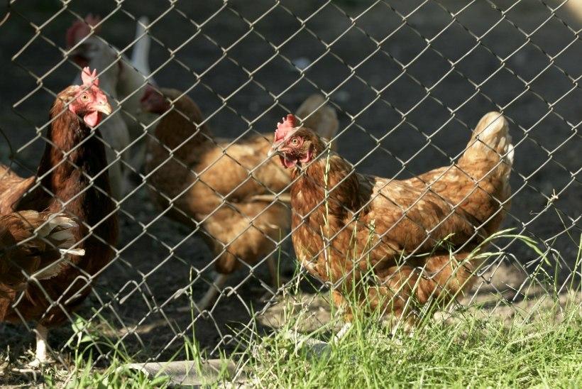 Väikesed linnufarmid saavad bioohutusnõuete täitmiseks taotleda toetust
