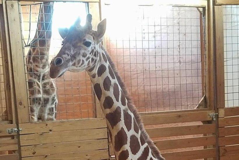 BEEBIOOTUS: Sada tuhat inimest ootab kaelkirjak Aprili poegimist