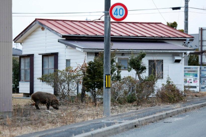 VIDEO | Fukushima piirkonnas asuvatesse linnadesse on siginenud metssead
