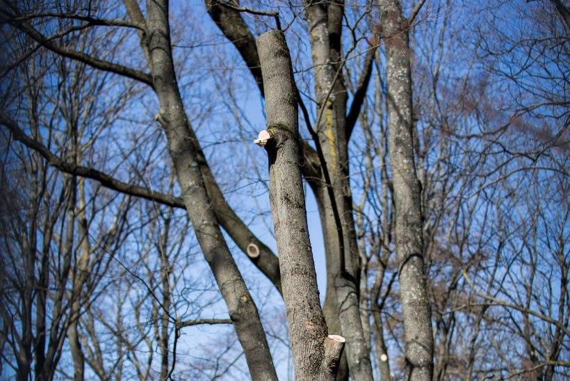 Kalmistupargis turritavad ilmetud puutüükad