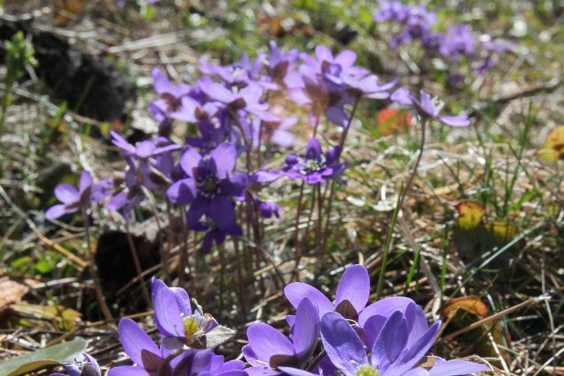 Viimaks kevad? Algava nädala ilm tõotab sooja