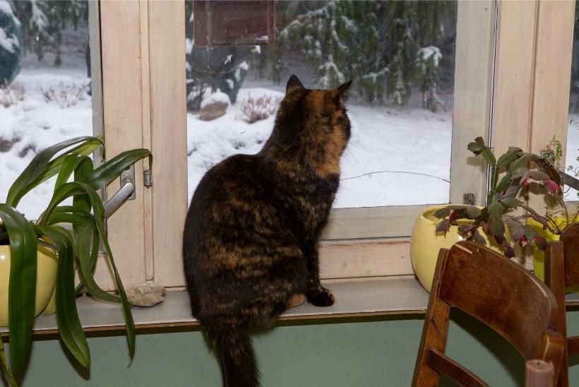 MTÜ Kasside turvakodu manitseb: ära lase oma kassil aknast kukkuda!