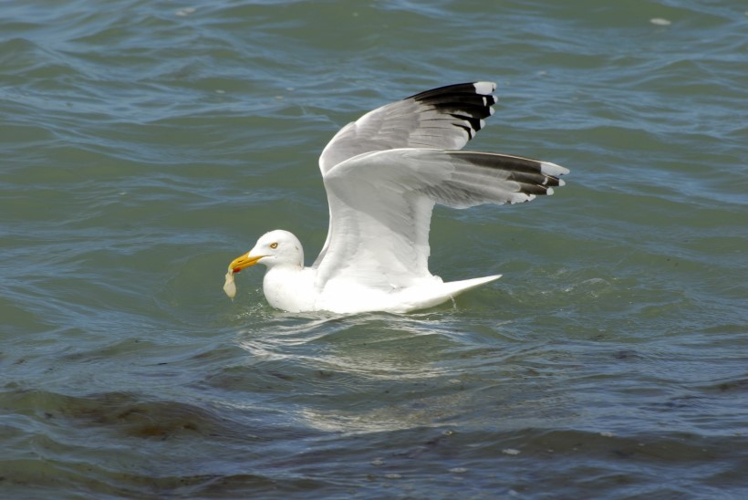 Toidulõhnad võivad merelinde meelitada ohtlikke pakendeid sööma