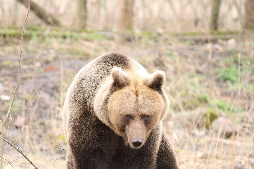 Teele jooksnud ja autolt löögi saanud karu ei pruugi elama jääda