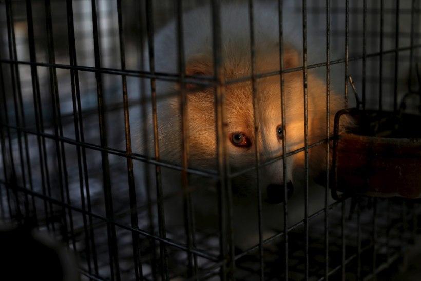 Loomade eestkostjad: Saksamaa suretab karusloomakasvandused välja