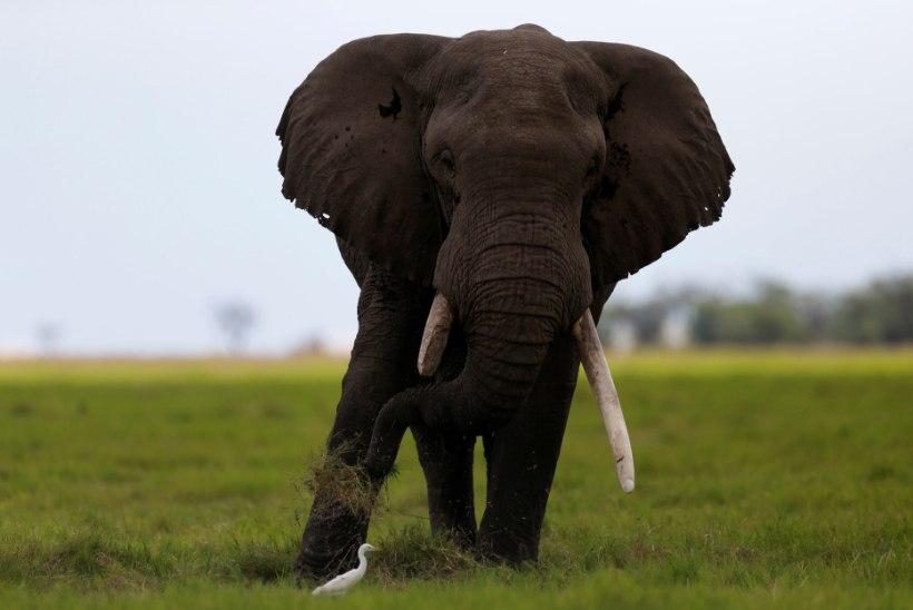 Surev elevant lömastas jahimehe