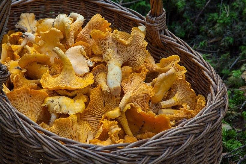 Ekspert vastab: kui hea on süüa palju seeni?