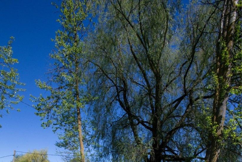 GALERII   Haabersti ringristmiku ümber käiv puuraie ajab mõne kohaliku nutma
