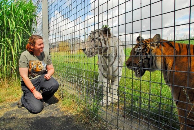 Ametnikud kinnitavad: Briti loomaaias talitaja tapnud tiiger on endiselt elus