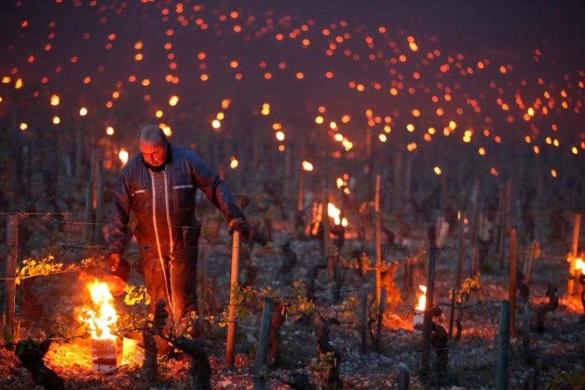 FOTOD | Enneolematu aprillikülm hävitas ligi poole kuulsatest Bordeaux viinamarjaistandustest