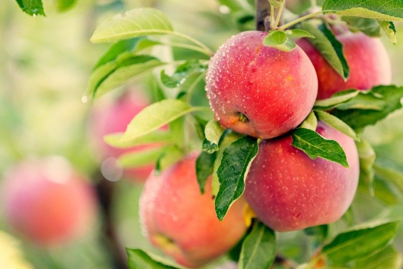 Neli nõksu hea õunasaagi saamiseks