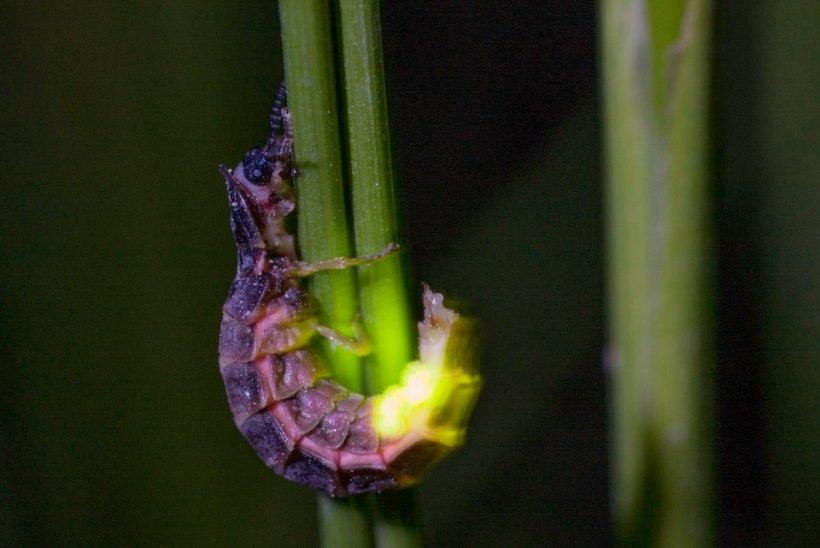 Pulmad ja matused: jaaniuss särab eluõhtul, surres peagi pärast paaritumist