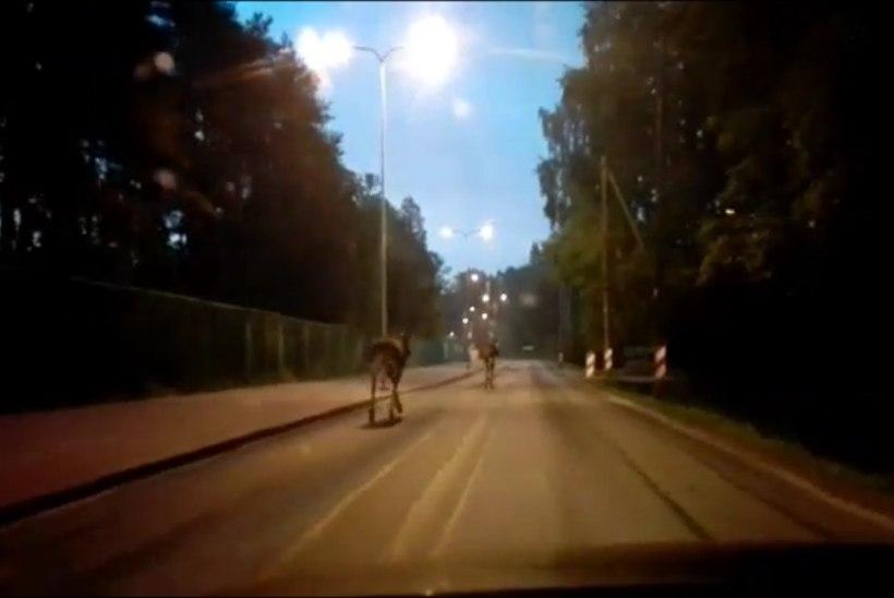 VIDEO | Kaks põtra ekslesid keset jaaniööd Rocca Al Mare tänavatel