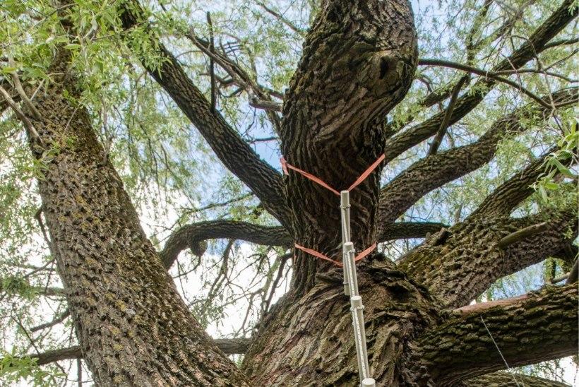 Dendroloogia selts: Haabersti hõberemmelgat ei peaks säilitama