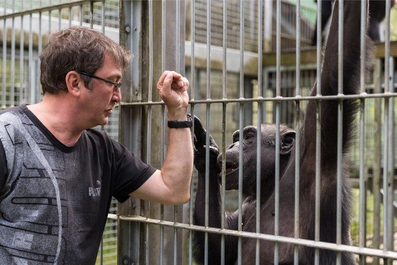 Ligi veerand sajandit loomaaias elav südamlik šimpans Pino tähistab täna 30. Sünnipäeva
