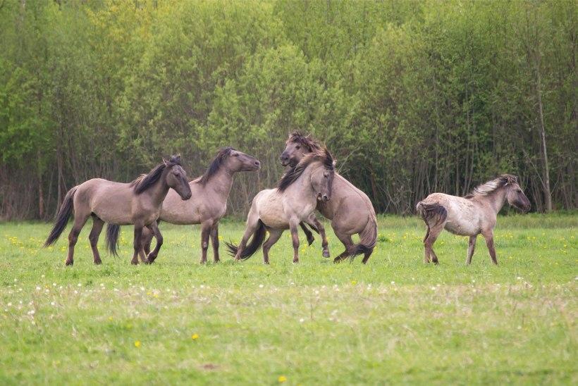 Talumehe mure: maast jäin ilma, kuhu nüüd panna sada poolmetsikut hobust?
