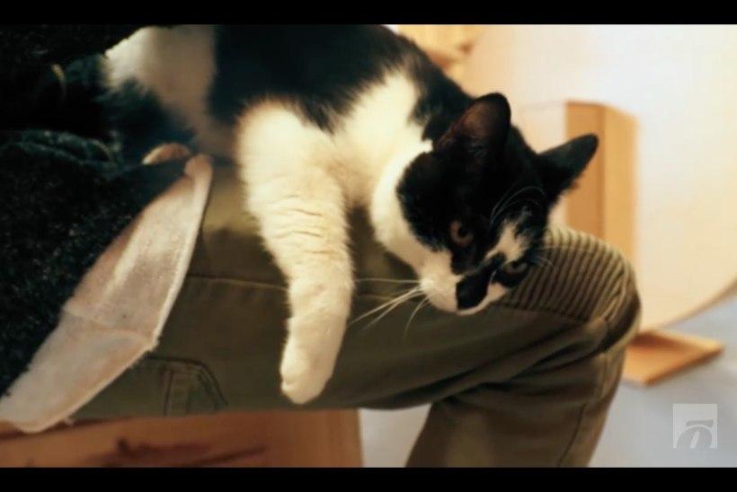 ÕHTULEHE VIDEO | Koduotsija: arvatavasti Eesti kõige inimsõbralikum kass otsib omanikku, kelle süles nurru lüüa