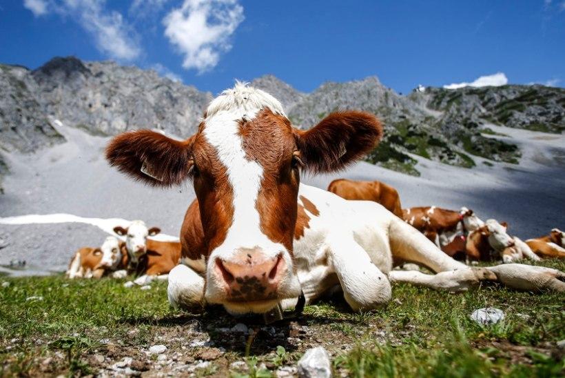 Austria Alpides tapsid lehmad eaka matkaja