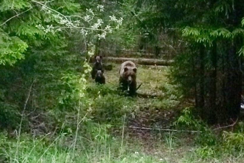 Piltuudis: Leslie da Bass kohtus metsas kolme karuga