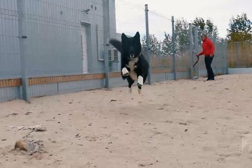 ÕHTULEHE VIDEO | Koduotsija: maailma rõõmsaim ja energilisim koer Joy